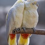 photo credit: Tambako the Jaguar Two parrots loving each other via photopin (license)